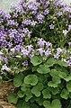 Oxyria digyna + Campanula saxatilis.jpg