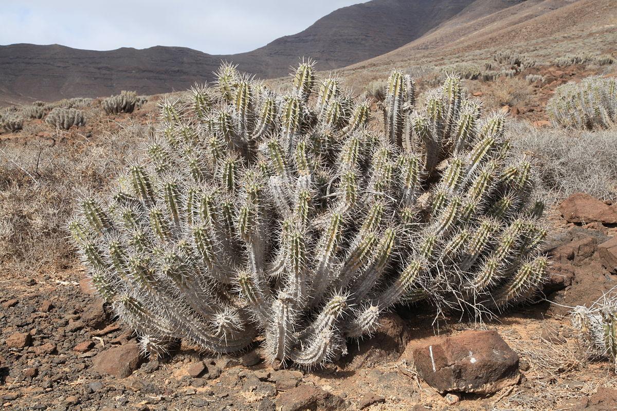 Pájara - Carretera Punto de Jandía - Euphorbia handiensis 27 ies.jpg