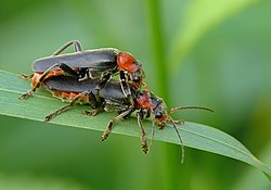 P1150918 Cantharis fusca.jpg