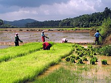 Image result for paddy fields images