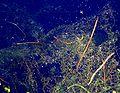 PBNT zbiorowisko Utricularia minor 03.07.10 pl.jpg