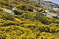 PIORNOS EN FLOR EN LA CUERDA DE CAMPANARIOS - panoramio.jpg