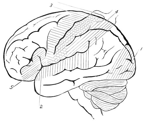 PSM V46 D659 Side view of the outline of the human brain.jpg