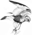 PSM V51 D613 Rough legged hawk.png