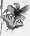 PSM V53 D468 Papilio turnus.png