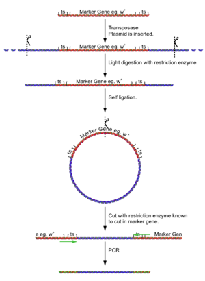 P element - Process of analysis of DNA flanking a known insert by PCR.