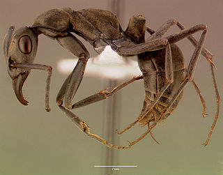Gamergate reproductively viable female worker ant