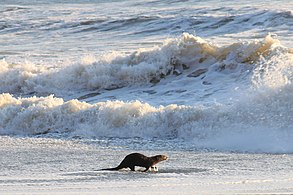 Pacific Otter (5652074885) (2)