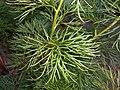 Paeonia tenuifolia 2016-05-20 0916.jpg
