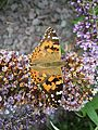 Painted Lady butterfly 3.jpg