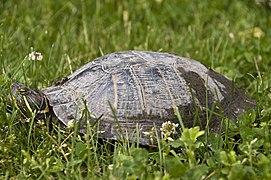 Painted Turtle-Pickerington Ponds 1.jpg