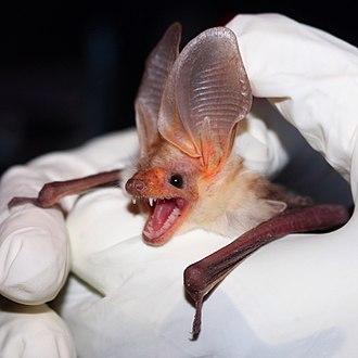 Pallid bat - Image: Pallid Bat (Antrozous pallidus)