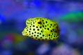 Palma Aquarium-Pez caja.tif