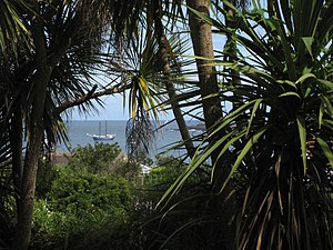 Alderney - Vegetation of Alderney (cabbage trees)
