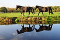 Panoramic view peat meadows at Wijkergouw Schellingwoude with reflected horses at 29 October 2015 - panoramio.jpg