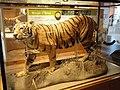 Panthera tigris tigris - Royal Ontario Museum - DSC00167.JPG