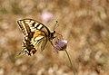 Papallones de casa meva - Papallona rei - Papilio Machaon (5165778699).jpg