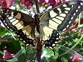 Papilio machaon top.jpg