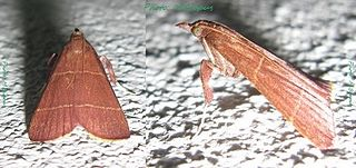Chrysauginae Subfamily of moths