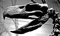 Paraphysornis brasiliensis skull.jpg