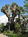 Parc Olbius Riquier - Yucca filifera.jpg