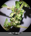 Parietaria officinalis sl30.jpg