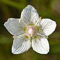 Parnassia palustris - Niitvälja bog.jpg