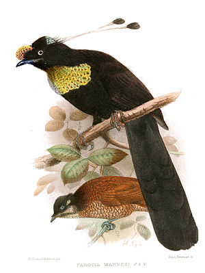 Wahnes's parotia - Male, with female behind