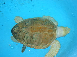 This green sea turtle is a partial albino. Tak...