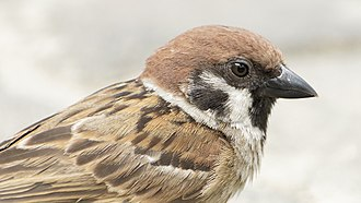 Eurasian tree sparrow - Facial features of adult male of subspecies P. m. malaccensis in Malaysia.