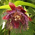 Passiflora quadrangularis-IMG 4480.jpg