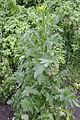 Pastinaca sativa subsp. sativa regrowth, Pastinaak 2e jaar (7)bewerkt.jpg