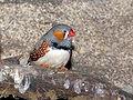 http://upload.wikimedia.org/wikipedia/commons/thumb/0/07/Paxaro_GDFL26.jpg/120px-Paxaro_GDFL26.jpg