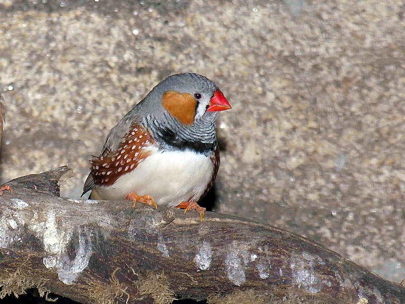 las aves más populares como mascotas diamante mandarín