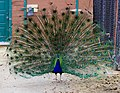 Peacock at The Magnetic Hill Zoo, Moncton, New Brunswick, Canada (38652952400).jpg
