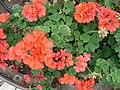 Pelargonium, Madeira - Dec 2012.jpg