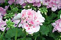 Pelargonium x hortorum Rocky Mountain Light Pink 2zz.jpg
