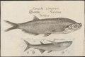 Pelecus cultratus - 1726 - Print - Iconographia Zoologica - Special Collections University of Amsterdam - UBA01 IZ15000156.tif