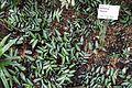 Pellionia repens - Flora park - Cologne, Germany - DSC00728.jpg