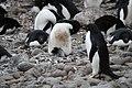 Penguin chicks (24340488350).jpg