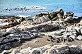 Penguin colony in Hermanus 07.jpg