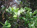 Pennantia corymbosa 11.JPG