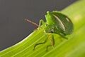 Pentaomidae sp 1.jpg