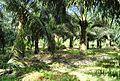 Perkebunan kelapa sawit milik rakyat (35).JPG