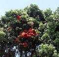 Perroquets dans un arbre en WA.jpg