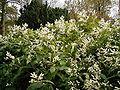 Persicaria wallichii 02 ies.jpg