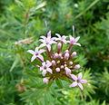 Petites fleurs mauves au Parc floral.JPG
