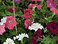 Petunia Single from Lalbagh flower show Aug 2013 8021.JPG