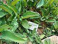 Pflanzen in den Gewächshäusern (6).jpg