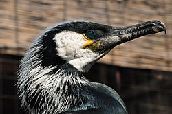 Phalacrocorax capillatus -head.jpg